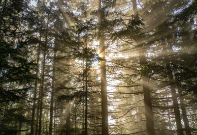 light streaming through a grove of tall trees